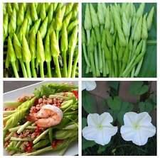 Ipomoea alba seed Moonflower White Morning Glory Vines Flowers vegetable