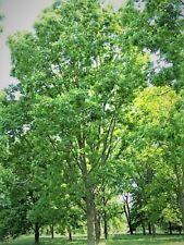 2 NATIVE PECAN TREES LIVE PLANTS CARYA ILLINOINENSIS SWEET EDIBLE FRUIT NUT