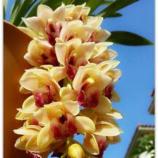 Rare Yellow Cymbidium Faberi Seeds Potted Plants Flower Seeds Cicada Orchid 100