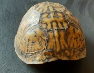 Real Turtle Shell Small River Find Kentucky