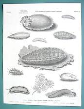 MOLLUSKS Sea Hare Lemon Mouse Doris - 1820 ABRAHAM REES Print