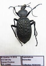 Carabus coptolabrus gemmifer (male A1) from CHINA (Carabidae)