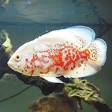 "3 Albino Tiger Oscar (1.5-1.75"") Live Fish 2 Day Fedex Shipping"