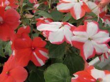 50 Impatiens Seeds Cascade Beauty Orange Star (trailing) FLOWER SEEDS