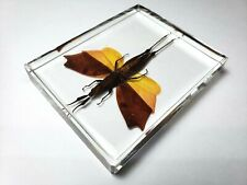 TRIGONOPTERYX CELEBESIA  ASIAN GRASSHOPPER embedded in clear resin.
