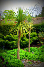 CORDYLINE AUSTRALIS cabbage tree @j@ exotic rare palm trees plant seed 10 seeds