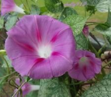 ~*~ Pink Morning Glory Seeds ~*~ i. purpurea - 20 seeds