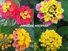 Lantana camara mix 24 semillas flor seeds lantanier graines wandelröschen samen
