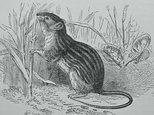 c1894 Antique Print THE BARBARY MOUSE Royal Natural History by Lydekker