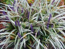 Liriope Variegata 54 Plants in 2-1/2 inch Pots FREE SHIPPING