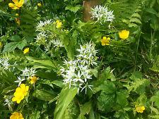 Bärlauch -  30 Samen , Knoblauch , Germsel  Gewürz und Heilpflanze Bär Lauch