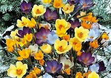 30 Crocus Bulbs - Mixed Color - One of First Bulbs to Flower in Early Spring