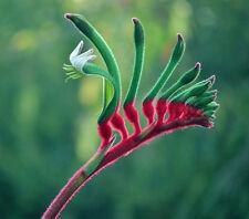 Red & Green Kangaroo Paw (Anigozanthos manglesii) 100 Seeds
