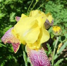 BEARDED IRIS German Yellow, perennial, 10+ seeds