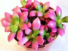 "Anacampseros ""Sunrise"" rufescens rare avonia exotic succulent aloe seed 20 seeds"