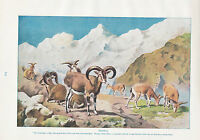1910 Naturale Storia Double Sided Stampa ~ Bharal/Mouflon Lydekker