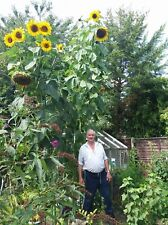 25  KING KONG SUNFLOWER Seeds / Largest & Tallest Multi Headed Variety Free Ship