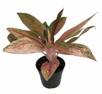 """Tropical Passion Chinese Evergreen Plant -Aglaonema- Grows in Dim Light - 4"""" Pot"""