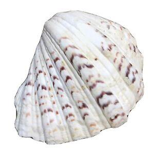 "Beautiful Large Clam Shell Bear Paw Hippopus Tridacninae Aquarium Beach Decor 7"""