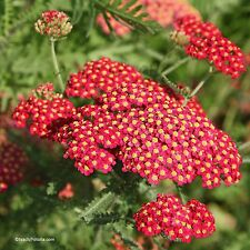 Rote Schafgarbe Achillea millefolium Samen VERSANDKOSTENFREU !!!