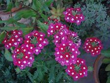 200 Seeds Veined Verbana Verbena Vervain Moujean tea Purpletop Red and white