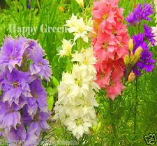 ROCKET LARKSPUR MIX - 600 SEEDS - Delphinium ajacis - FLOWER