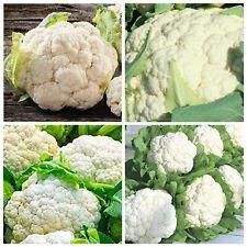 Cauliflower - 500 Seeds - Snowball Y Improved Heirloom Seeds Usa-Seller !
