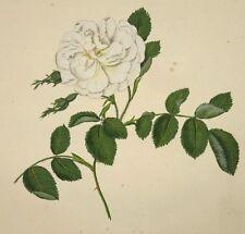 1801 Die Rosen (Les Roses) hand-coloured plate, Carl Gottlob Rossig, White Rose