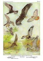 """1936 Vintage FUERTES BIRDS #43 """"BIRDS OF PREY IN FLIGHT"""" Color Plate Lithograph"""