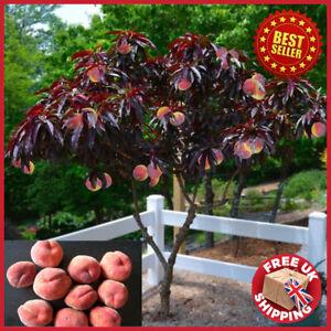 Hardy Crimson Bonfire Red leaf Patio Peach Dwarf Tree 70-100cm tall