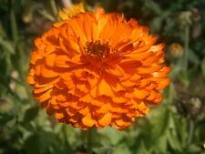 Calendula officinalis circa 100 semi 4575 Pratolina /'Candyman ORANGE/'