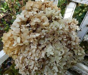 11 Dried Hydrangea Flowers Antique Creams + Burgundy Rustic  Primitives SECONDS