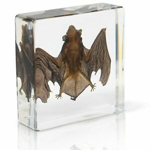 Animal Bat Specimen Science Education Taxidermy Paperweight For Scienceclassroom