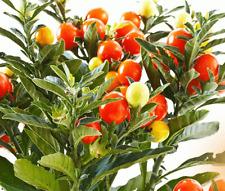 100 INDIAN GINSENG Withania Somnifera Ashwagandha Seeds