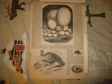 ANTIQUE 1854 WILD TURKEY BIRD PRINT & WHAT EGG IS NATURAL HISTORY TURTLE PRINT N