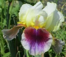 Double Rose Amo - Tall Bearded Iris - Morgan 1979