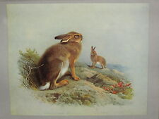 VINTAGE NATURAL HISTORY PRINT ~ MOUNTAIN HARE (AUTUMN) & IRISH HARE
