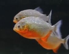 SMALL Red Belly Piranha FRY Live Freshwater Aquarium Fish
