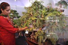 DWARF/bonsai Tamarind(Dwarf Tamarindus indica)5 fresh seeds* *dwarf fruit trees