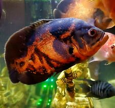 New listing Monster Tiger Oscar Fish, 10+ Inches!