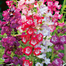 PENSTEMON - SENSATION MIXED - 1400 SEEDS