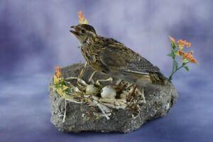Beautiful European Coternux Stuffed Quail Mounted New Taxidermy Bird