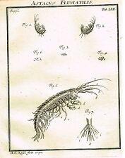 """Rosel's """"Insecten"""" - Copper Engraving - """"ASTACUS FLUVIATILIS - SHRIMP"""" - 1740"""