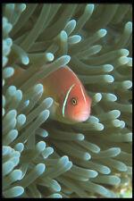 210088 anémonas peces kimbe Bay Papúa Nueva Guinea A4 Foto Impresión