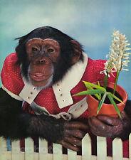 1959 MONKEY HUMOR Chimpanzee Lady Gardener FLOWERS Botanical Animal Photo Art