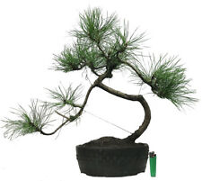 large Pinus sylvestris  (scot`s pine)  outdoor bonsai tree