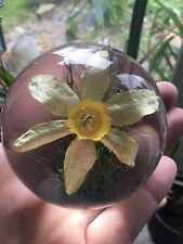 Hafod Grange Suspended Daffodil Paperweight