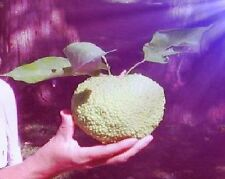 Milchorangen-Baum Stecklinge Obstpflanze Gemüsepflanze große Zimmerpflanze Obst