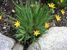 3x Dwarf Iris Sisyrinchium californicum (Golden eyed grass)bare root pond plants