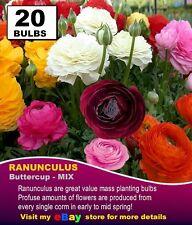 RANUNCULUS BULBS - MIXED COLOURS 20 x Bulbs